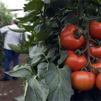 Unter der Sonne Andalusiens entfalten Tomaten ihr besonderes Aroma. - Foto: djd/Hortyfruta