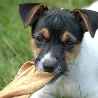 Auch verspielte kleine Hunde können einmal krank werden. Deswegen sollte man rechtzeitig vorsorgen. - Foto: djd/www.tierversicherung.biz