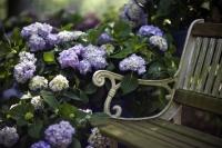 Hortensien bevorzugen einen halbschattigen Standort. - Foto: djd/Endless Summer