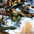 Olivenöl ist besonders wertvoll - Ist das so?