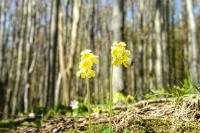 Schlüsselblumen recken ihre gelben Köpfe in die Höhe.  Foto: djd | Nationalpark-Zentrum KÖNIGSSTUHL/NZK-Lehmann