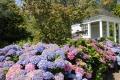 Hortensien - Vielseitige Gartenschönheiten