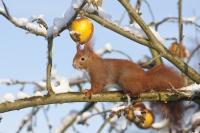 Wenn Eichhörnchen bei Schnee und Kälte durch Gärten und Parks springen, dann sind sie zumeist auf der Suche nach Futter. Foto: Welzhofer | Hecker