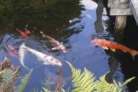 Bei steigender Wassertemperatur nimmt die Aktivität der Fische zu. Nun benötigen sie Futter, das mehr protein- und fetthaltige Zutaten enthält. | Foto:  FLH