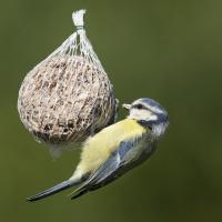 Der Stoffwechsel vieler Vögel ist in besonderem Maße auf die schnelle Fettverdauung ausgerichtet. Je mehr sie sich bewegen und Energie verbrennen, um so fettreicher sollte ihre Nahrung sein. Foto: Welzhofer/Böhm