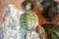 Junge Schildkröten wachsen ohne Winterruhe in den ersten Lebensjahren besonders schnell. Das kann zu Organ- und Panzerschäden führen. Foto: FLH