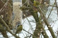 Wenn das im Garten angebotene Futter verschiedene Vogelarten anspricht, lässt sich hier tagtäglich eine große Artenvielfalt beobachten - hier sind es beispielsweise Zeisige. Foto: Welzhofer/Moriell