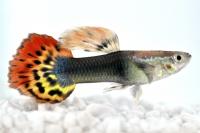 Durch Kreuzungen sind immer wieder neue farbenprächtige Variationen der Schwanzflosse entstanden. Hier: Guppy-Männchen Dragon heat... Foto: FLH