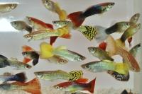 Die Guppy-Männchen sind lebhaft bunt gefärbt und werden gerade mal drei Zentimeter groß. - Foto: FLH