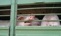 Tierschutzrelevante Aspekte, etwa die Verkürzung von Transportzeiten, fanden Berücksichtigung im Koalitionsvertrag. Foto: Deutscher Tierschutzbund e.V. | © Jens Wolters