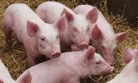Die betäubungslose Ferkelkastration muss aufhören! Foto: Deutscher Tierschutzbund e.V.