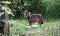 Im Jahr 2000 wurden erstmals in Deutschland wieder wildlebende Wölfe geboren.  Foto: Deutscher Tierschutzbund e.V.