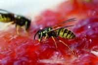 Ob Marmeladenbrot oder Grillbuffet: Wo Menschen im Freien essen, sind Wespen meist nicht weit - zumindest im Sommer. Um nicht gestochen zu werden, ist es wichtig, ruhig zu bleiben. Foto: digitier/Panthermedia/Barmenia