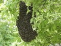 Schwarmzeit bei Honigbienen