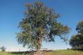 Ein Birnbaum im eigenen Garten