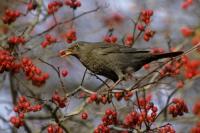 Wenn im Herbst die Früchte an den Vogelsträuchern reifen, finden sich viele Vögel im Garten ein. Foto: GPP.