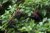 Aus den duftenden Schirmblüten des Schwarzen Holunders entwickeln sich glänzende Früchte.  Foto: GPP.