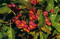Rotkehlchen stehen auf die leuchtenden Früchte des Pfaffenhütchens, die für Menschen allerdings giftig sind.  Foto: GPP.