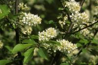 Die weißen Blüten der Traubenkirsche locken mit ihrem feinen Honigduft unzählige Insekten an. Foto: GPP.