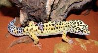 Leopardgeckos sind nachtaktive Einzelgänger, können aber mit Artgenossen zusammenleben - beispielsweise ein Männchen mit mehreren Weibchen oder eine Gruppe von Weibchen. Foto: FLH
