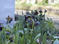 Nicht zu vergessen sind die Winterblüher, die man jetzt in vielen Gärten antrifft.  Foto: BGL