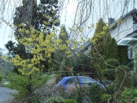 Platziert man Immer- und Wintergrüne geschickt und kombiniert sie mit Winterblühern wie der Zaubernus, zeigt sich vor dem Haus ein attraktives Winterwonderland - selbst dann, wenn es nicht schneit. Foto: BGL