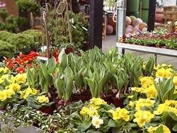 Der Frühling ist da! Der Fachhandel hält eine große Auswahl an Frühlingsblühern bereit, die sofort den Balkon oder die Terrasse in ein Blütenmeer verwandeln.